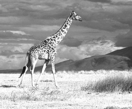 Giraffe-AnselAdams-effect