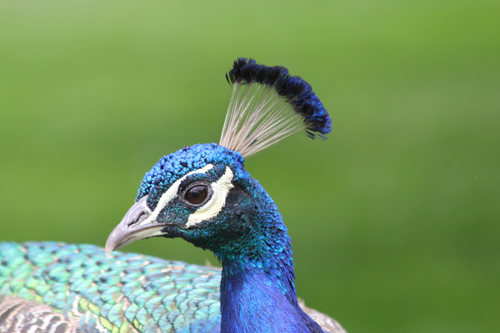 Original-peacock-photo