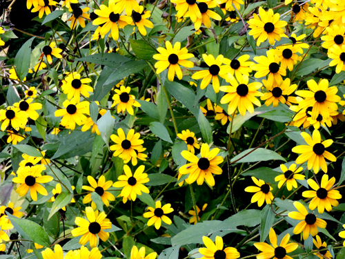 Britts-black-eyed-susans